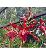Myrmecolaelia Quest Fanguito Orchid Plant Blooming 0304M - $35.96