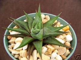 "SHIP From US, 4"" pot HAWORTHIA Limifolia, succulent plant cacti EC - $36.99"