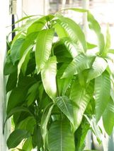 "SHIP FROM US Mango Tropical Fruit Tree 12""-24"" TPE3 - $80.00"