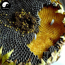 Buy Sunflower Seeds 600pcs Plant Helianthus Annus For Kwai Seed - $15.99