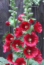 50 Flower Seeds - Hollychock Country Romance Mix Alcea Rosea #SFB15 - $17.99