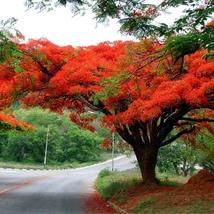 10 Seed Heirloom Delonix Regia Red Flame Tree, DIY Beautiful Tree DO - $9.99