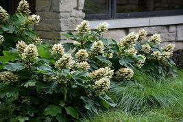 Munchkin Oakleaf Hydrangea image 3