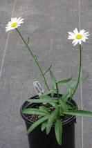Shasta Daisy Live Starter Plant, Easy care / Low maintenance - $27.95