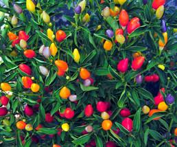 Prairie Fire Pepper Seeds, Ornamental Pepper Seed, Non-Gmo Heirloom Pepp... - $4.99