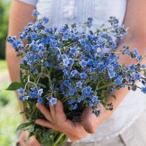 Chinese Forget-Me-Not Cynoglossum Seed / Cynoglossum Flower Seeds - $17.00