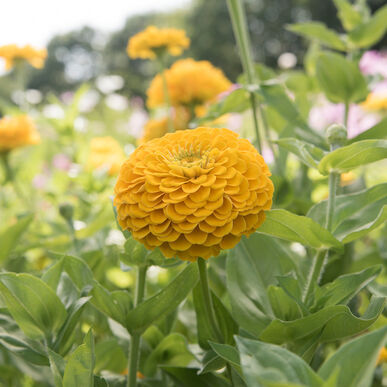 Primary image for Benary's Giant Golden Yellow Zinnia Seed, Zinnia Flower Seeds