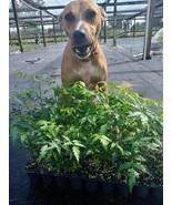 Neem Tree grown pesticide free not organic free shipping dog not included - $16.75