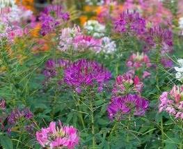 100 Seeds of Spider Flower Pink and Purple Mix - Cleome Hassleriana - $11.86