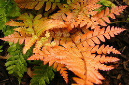 """Japanese Autumn Fern - Dryopteris - Indoors or Out - 4"""" Pot - $29.99"""