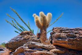 Young Teddy Bear Cholla, Fine Art Photographs, Paper, Metal, Canvas Print - $40.00