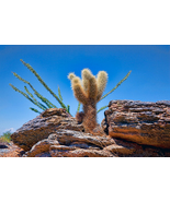 Young Teddy Bear Cholla, Fine Art Photographs, Paper, Metal, Canvas Print - $40.00 - $442.00