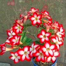 2pcs Very Enchant Adenium Obesum Bulk Desert Rose Bonsai Tree Flower seeds - $14.25