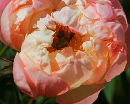 5 pcs Peony Peach-red Golden Perennial Tree Flower Seeds Very Excellent - $13.88