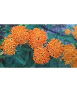 Organically grown Butterflyweed,Asclepias tuberosa, Milkweed Monarch but... - $3.50