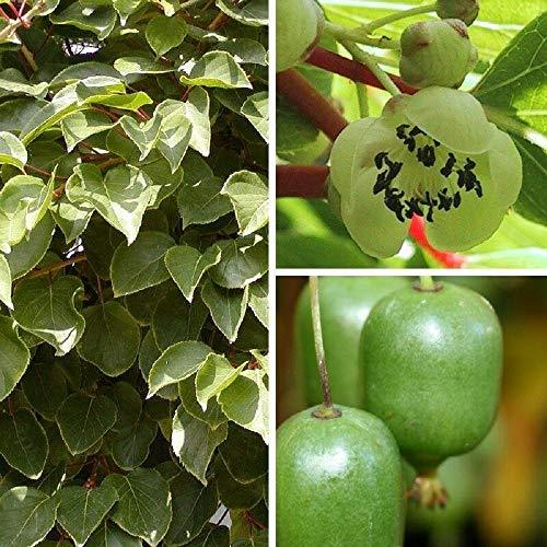 Primary image for 30 Seeds Rare Golden Kiwi Fruit Hardy Zone 7-11 Sweet Taste TkPaynean