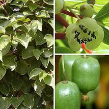 30 Seeds Rare Golden Kiwi Fruit Hardy Zone 7-11 Sweet Taste TkPaynean - $50.49