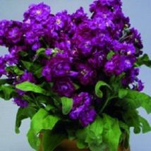 SHIP FROM US 50 Seeds Purple Stock Matthiola Evening Scented,DIY SB Flower Seeds - $27.99