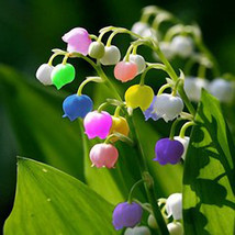50 PCS Rare Lily of Valley Flower Seeds Colored Rainbow Bell Orchid Se... - $8.97
