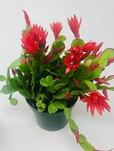 """Red Easter Cactus - Rhipsalidopsis 6"""" Pot - $24.50"""