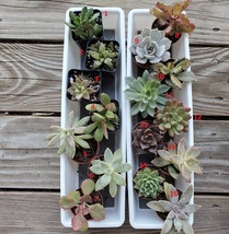 Succulent plant in 2 inch nursery pot, choose one from assortment shown