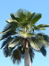Bailey Copernicia Palm - 3 Live Plants in 4 Inch Pots - Young Starter Pl... - $138.57