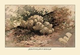 Hydnum Caput - Medusae by W. Hamilton Gibson - Art Print - $19.99+