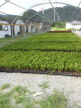 Green Giant Arborvitae 25 plants Thuja plicata 3 inch pot image 6
