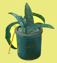 Sansevieria elliptica Horwood FKH 424 —  Kenya : Leaf+Roots Robust Healt... - $15.71