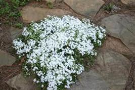 15 White Creeping Baby's Breath Seeds-1168B - $2.98