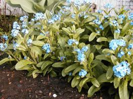 forget-me-not Perennial Myosotis, Blue Flower, 800 Seeds! - $13.85