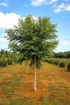 River Birch single stem tree (betulanigra) image 1