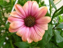 25 Pcs Seeds Dimorphotheca Sinuata Salmon African Daisy Apricot Flower - DL - $16.00