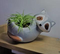 "Live Air Plant in Raccoon Animal Planter, 5"" grey glazed ceramic pot"