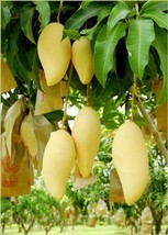 Nam Doc Mai Grafted Mango Tree - Young Thai Favorite Mango - $99.00