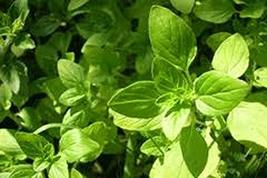Oregano Seeds Italian Oregano HERB Seeds, Heirloom, 50+ Seeds, Healthy Delicious - $5.99