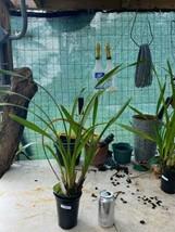 Cymbidium Cym. Street of Gold 'Mana' Orchid Plant Blooming Size Warm 0518 G image 2
