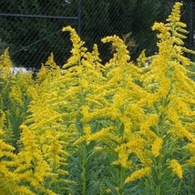 4 Variety Graceful Goldenrod Wildflower (Solidago) Fresh Seeds #IMA47 - $14.99+