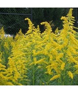 4 Variety Graceful Goldenrod Wildflower (Solidago) Fresh Seeds #IMA47 - $14.99+