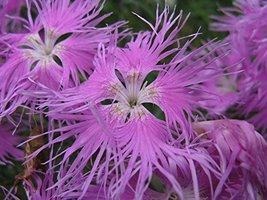 4 Bare Root of Dianthus Superbus - Fringed Pink - $110.88