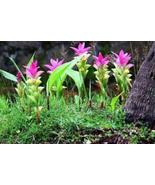 10pcs Very Gorgeous Thailand Curcuma Seeds,Siam Tulip Pink Flower Seeds ... - $14.97