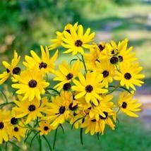 100+SWAMP SUNFLOWER Seeds Clumping Perennial Native Wildflower Salt Poor Soils - $2.75