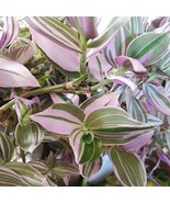 Wandering Jew Lilac Potted Plant - Rare House Plant in 2.5 inch Pot - $29.75