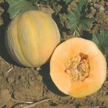 3g Minnesota Midget Melon Seeds ~100 Ct Heirloom ~ Sweet Miniature Sweet... - $14.99