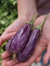 Eggplant Seeds - Fairy Tale Hybrid - Gardening - Outdoor Living - Free Shipping - $35.99