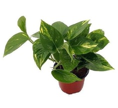 Live Golden Devil's Ivy Pothos aka Epipremnum aureum Foliage Plant Fit 4... - $3.99