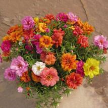 1200PCS-Fresh-Flower-Seeds-Moss-Rose-Double-Mix-Portulaca-Grandiflora-Ga... - $2.19