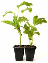 Edible Passion Flower - 2 Pack Great Fruit Hardy Fresh Mature Self Fertile - $36.00