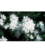 "Philadelphus Snowbelle Mockorange Flower Live Plant 4"" Pot - $35.00"