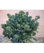 20 Seeds Atlantis Brokali Hybrid Seeds, DIY Healthy Vegetable - $5.99